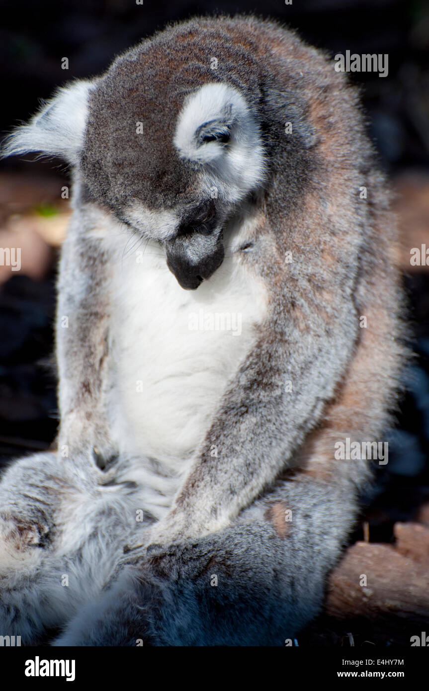 Picture of a nice lemur with beautiful eyes and skin. Stock Photo