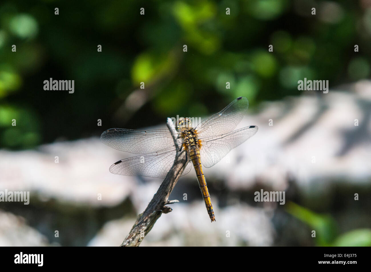 An female Black Darter, Sympetrum danae at rest on a twig. Stock Photo