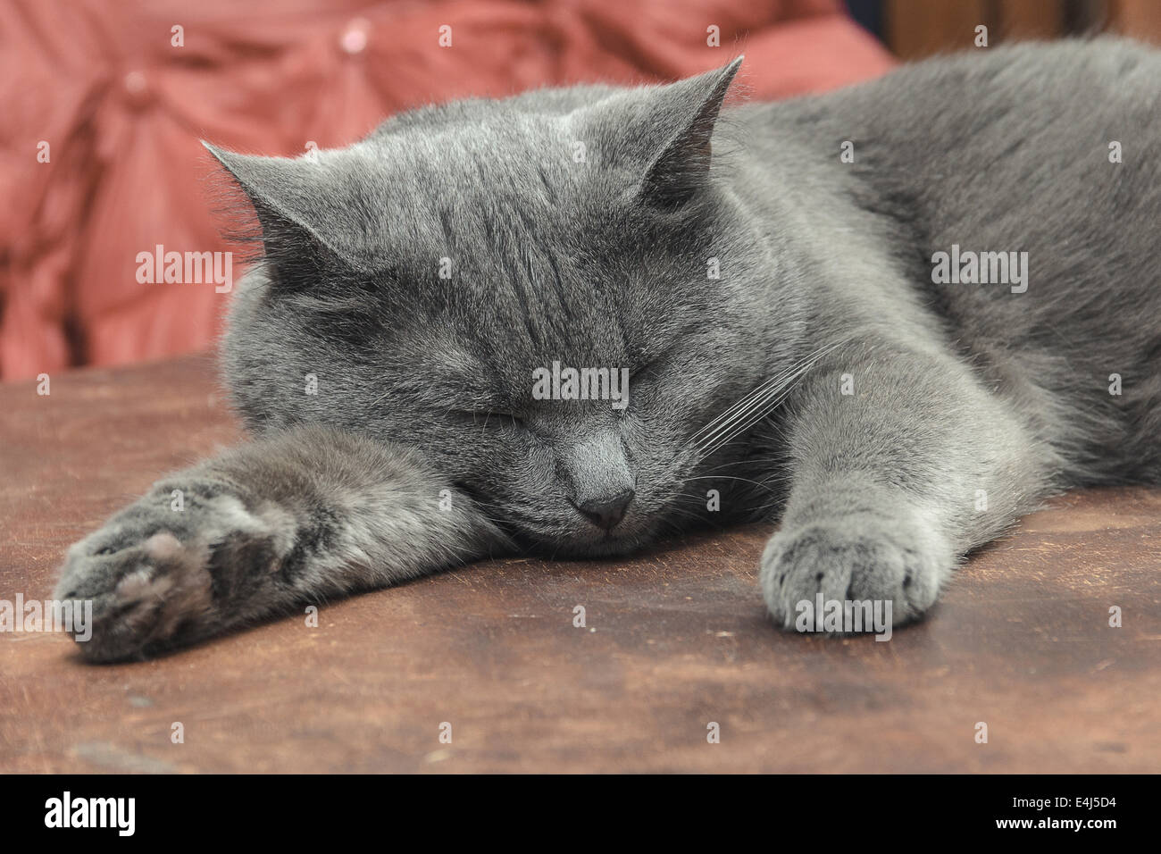 Grey cat sleeping on old brown table - Stock Image