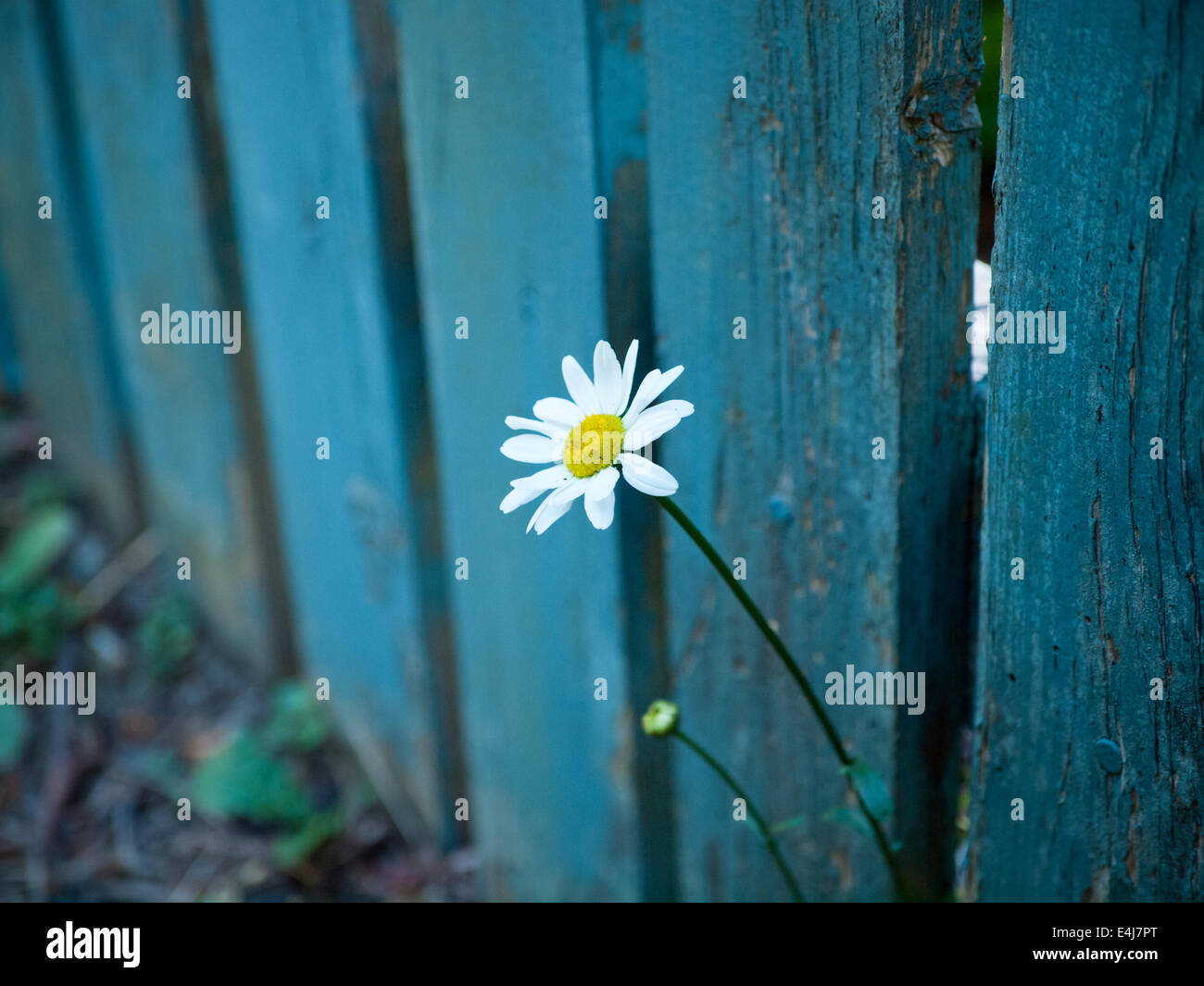 A single, white daisy pokes out through a teal-blue, wooden fence. Victoria, British Columbia, Canada. - Stock Image