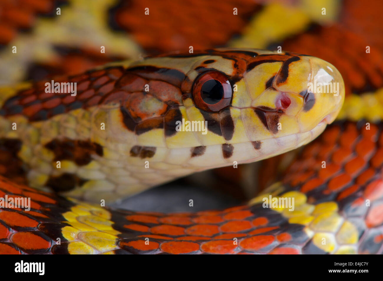 Bella ratsnake / Archelaphe bella bella - Stock Image