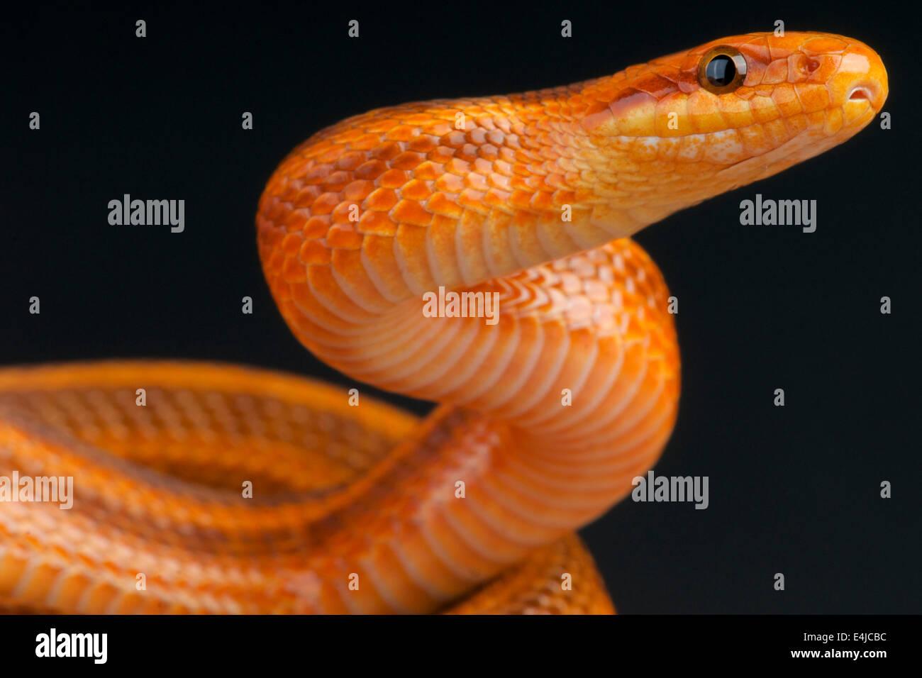 Steppes ratsnake / Elaphe dione - Stock Image