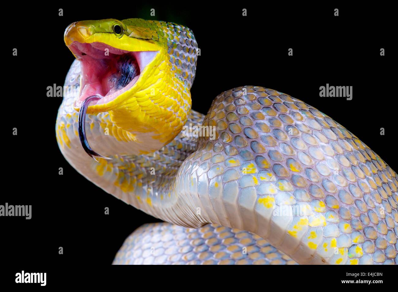 Attacking snake / Gonyosoma oxycephalum - Stock Image