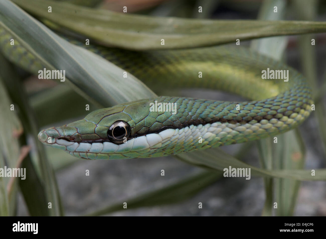 Baron's green racer / Philodryas baroni - Stock Image