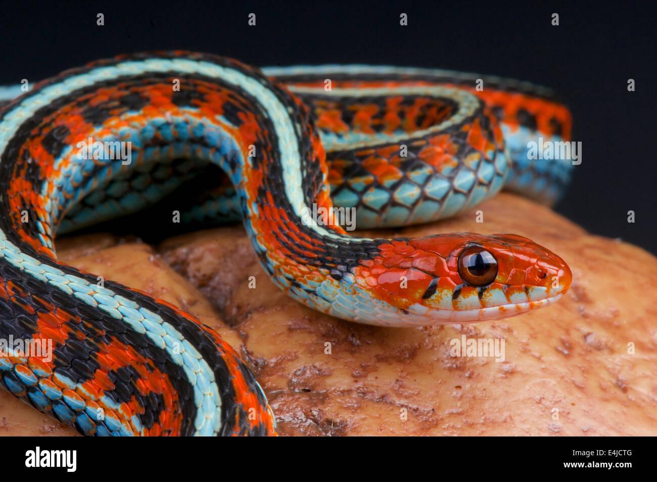 San Fransisco garter snake / Thamnophis sirtalis tatraenia - Stock Image