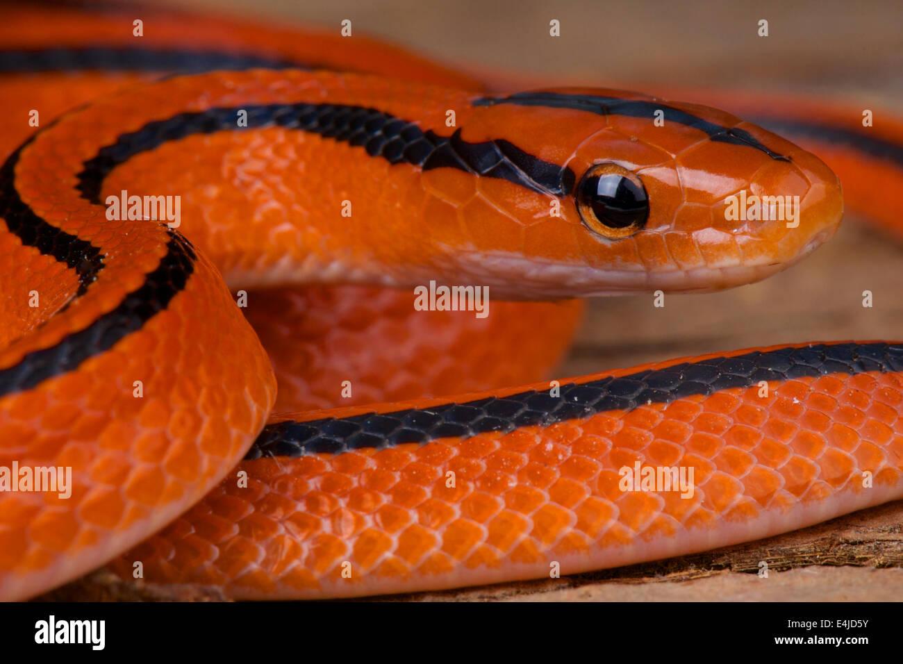 Thai red mountain rat snake / Oreocryptophis porphyracea coxi - Stock Image