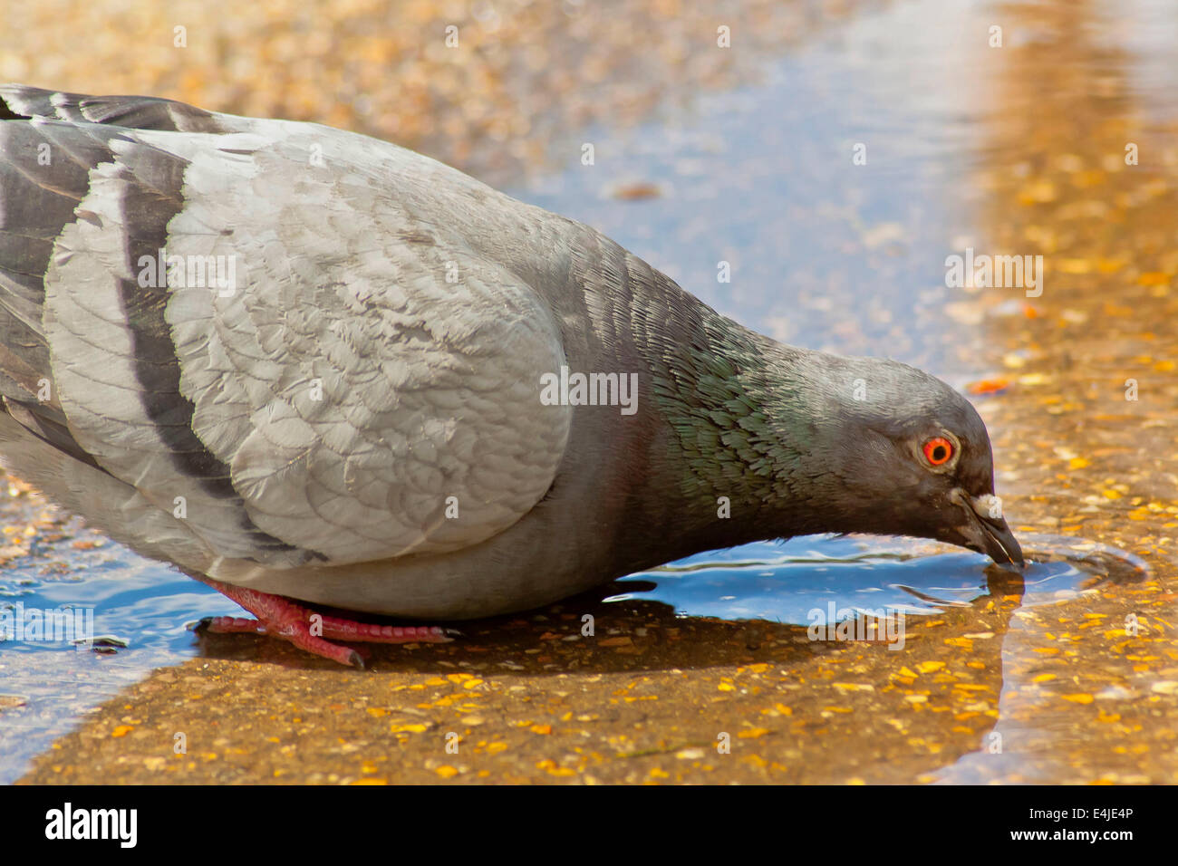 Pigeon drinking water - Stock Image