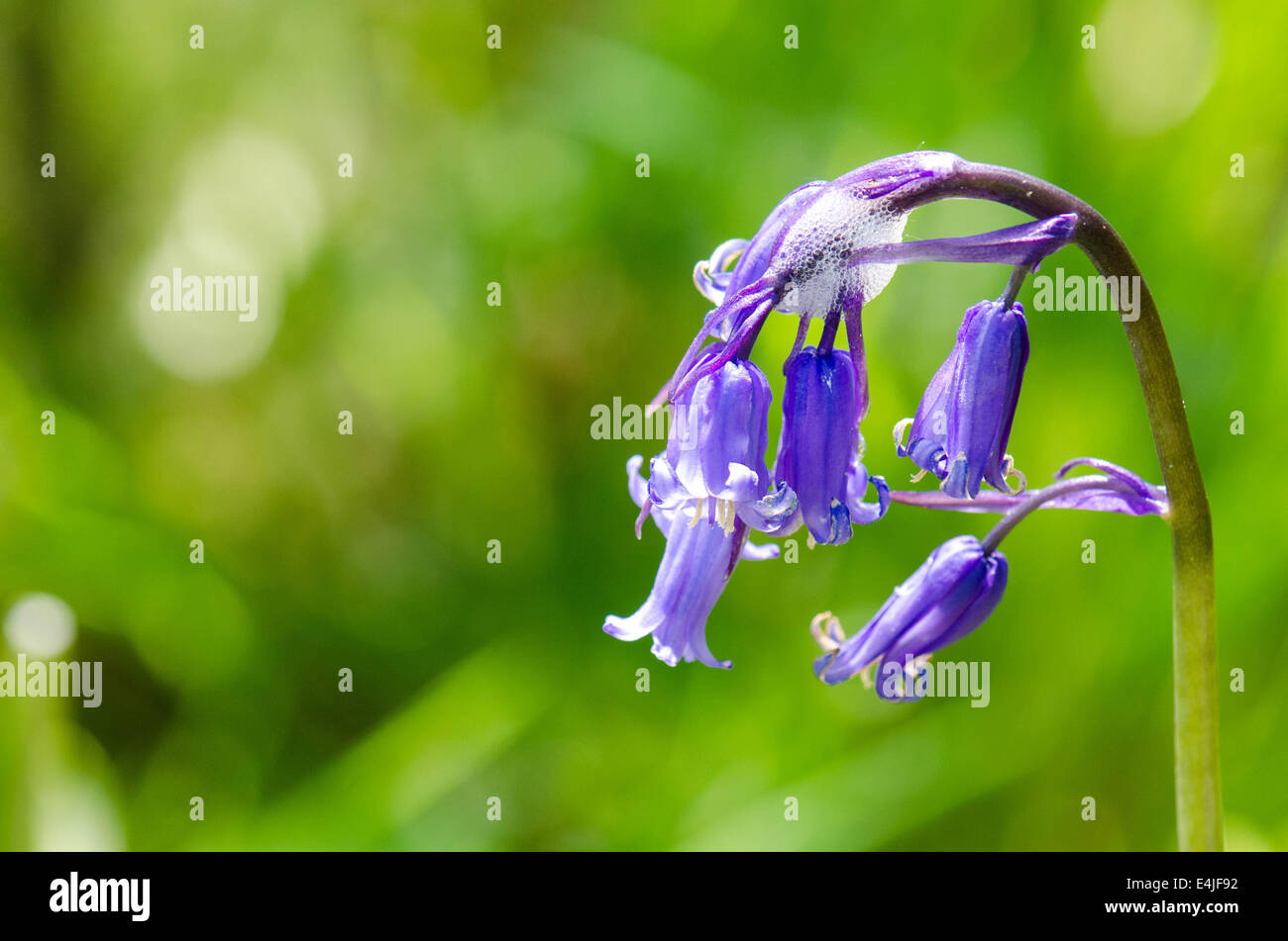 Bluebells with cuckoos spit - Stock Image