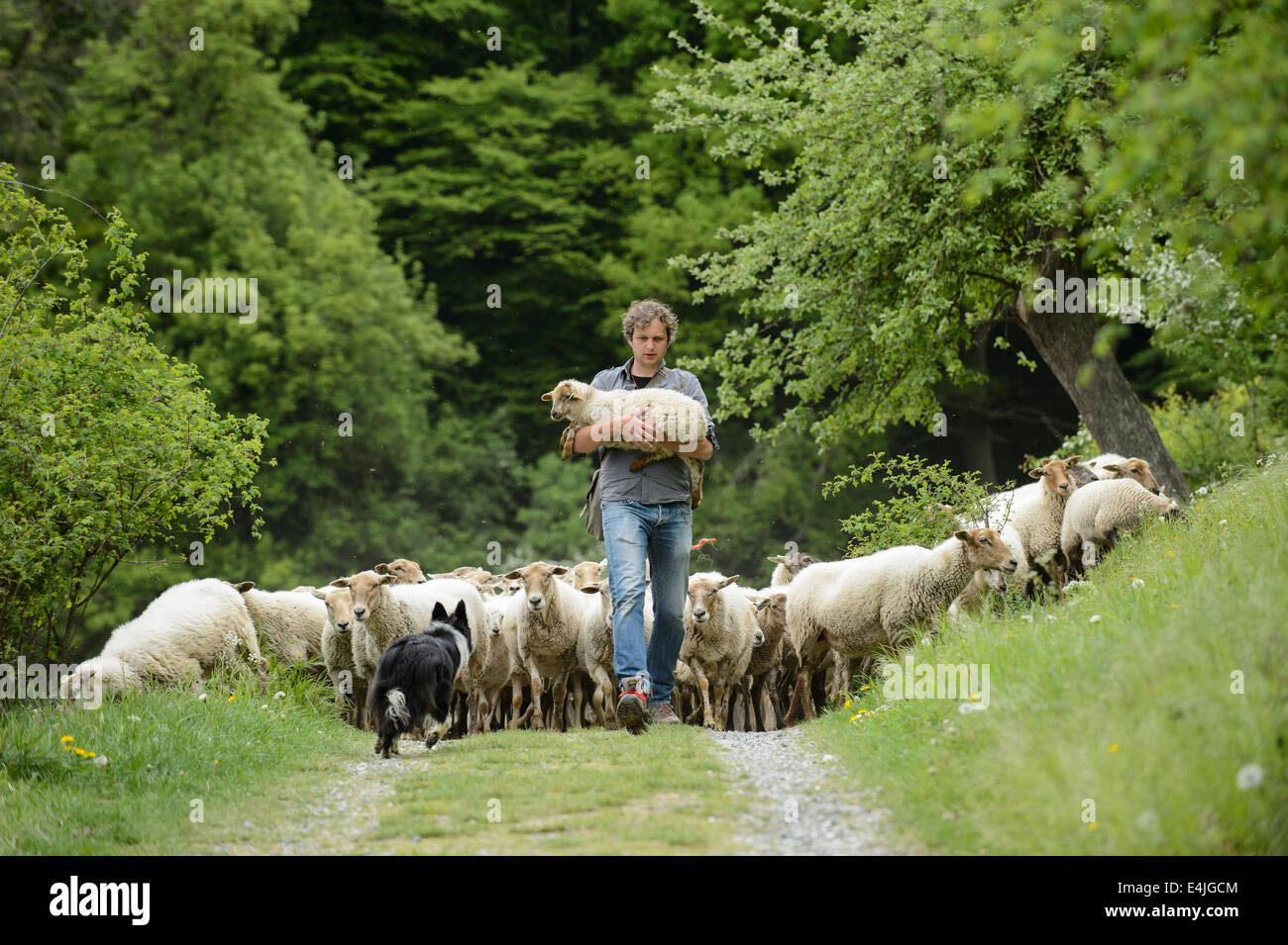 Shepherd with a flock of sheep following him, carrying a hurt lamb. - Stock Image