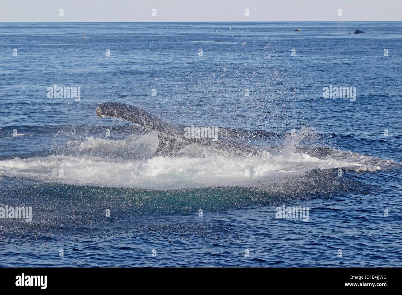 Humpback whale (Megaptera novaeangliae) feeding breaching - Stock Image