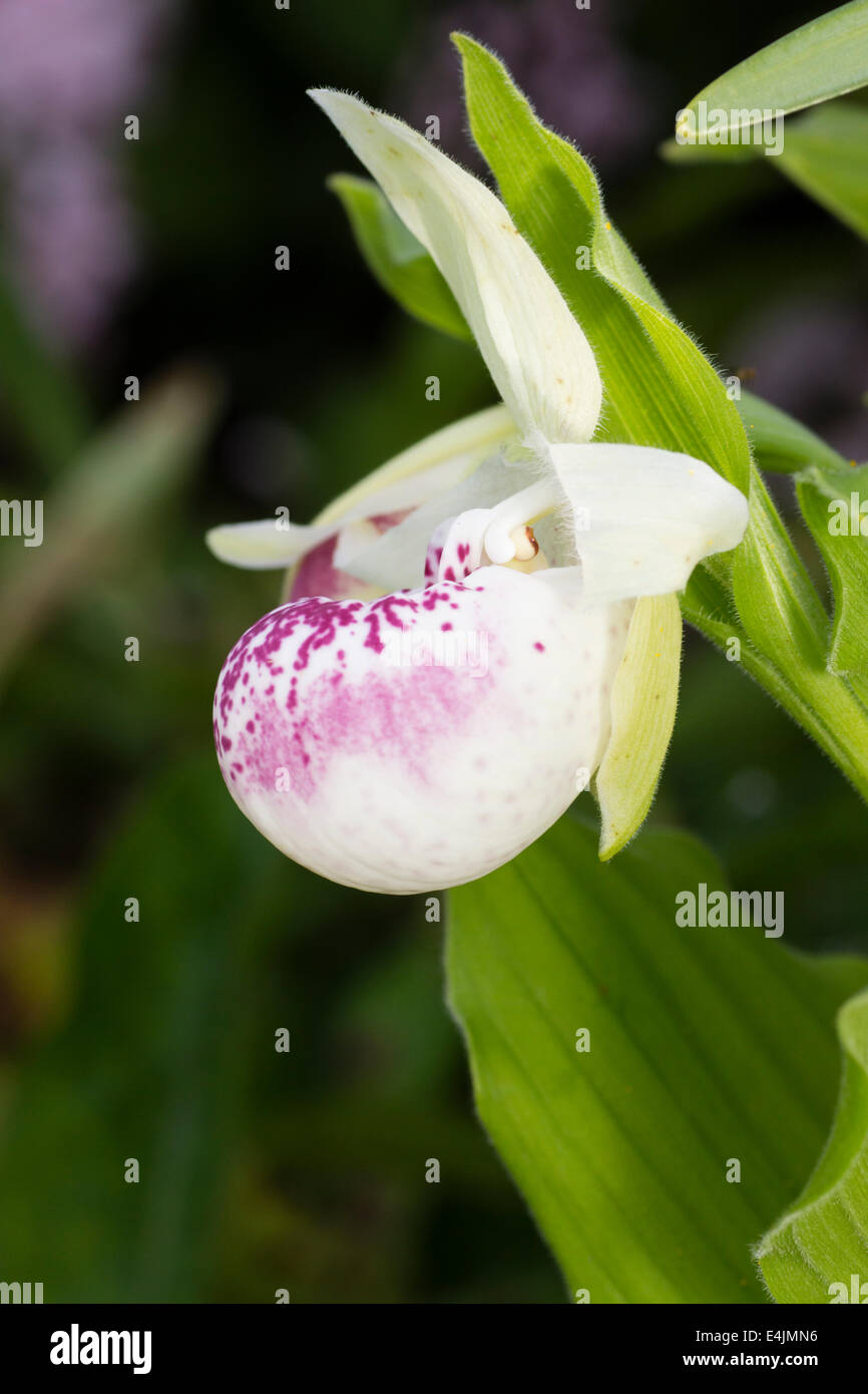 Flower of the hardy hybrid slipper orchid, Cypripedium 'Ulla Silkens' - Stock Image