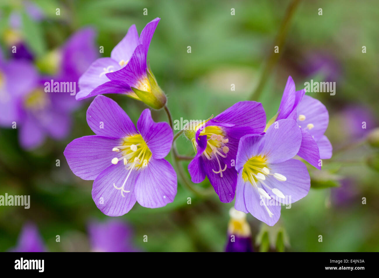 Flowers of the perennial Polemonium 'Lambrook Mauve' - Stock Image
