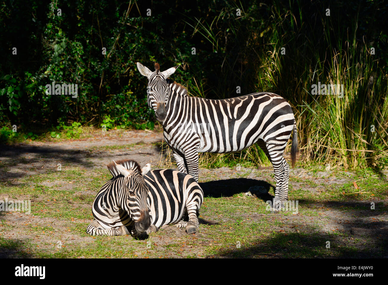 Zebra, Zebras, Animal Kingdom, Disney World, Orlando Florida - Stock Image