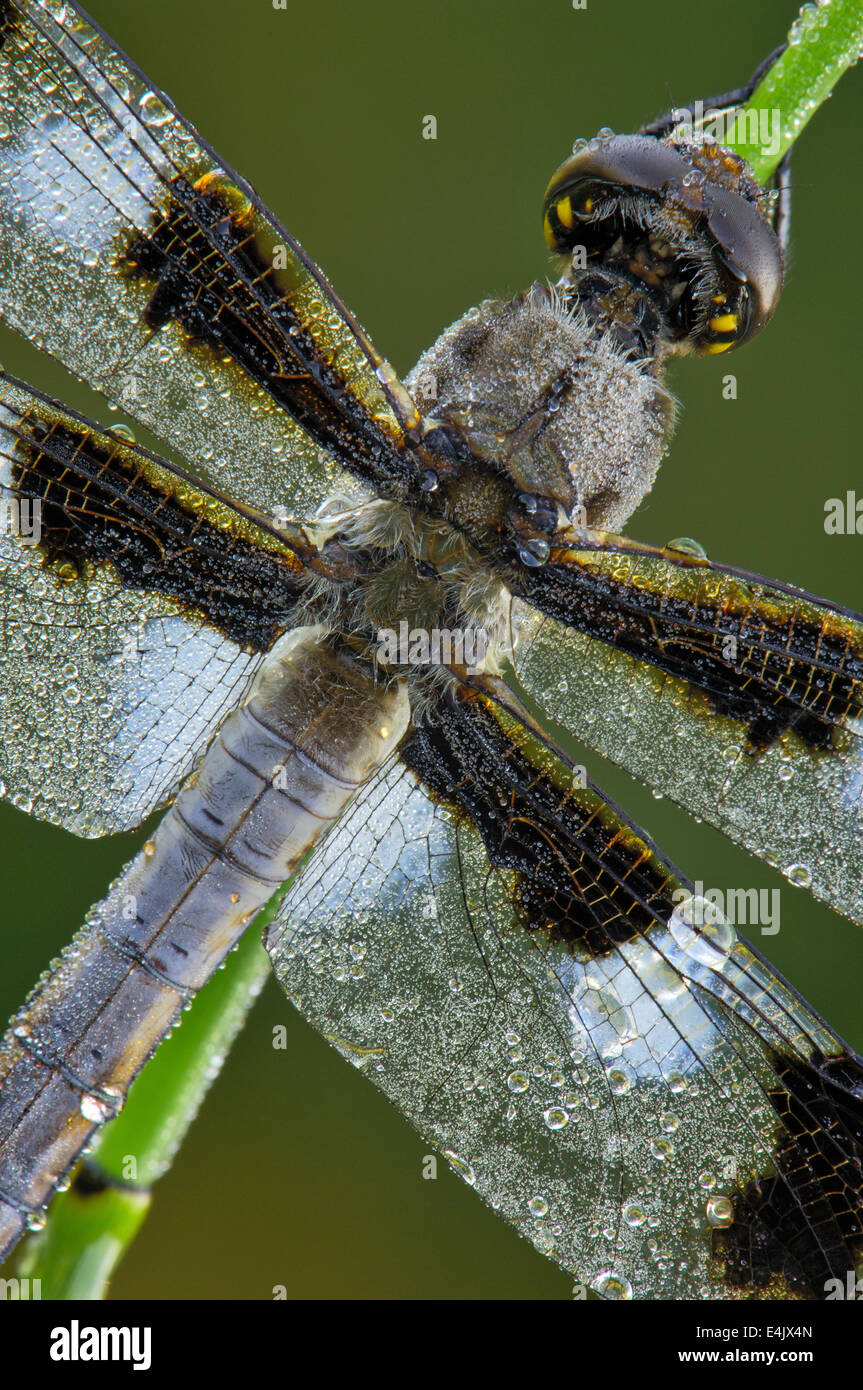 Closeup macro photograph of a Twelve-Spotted Skimmer dragonfly, covered in morning dew drops. - Stock Image