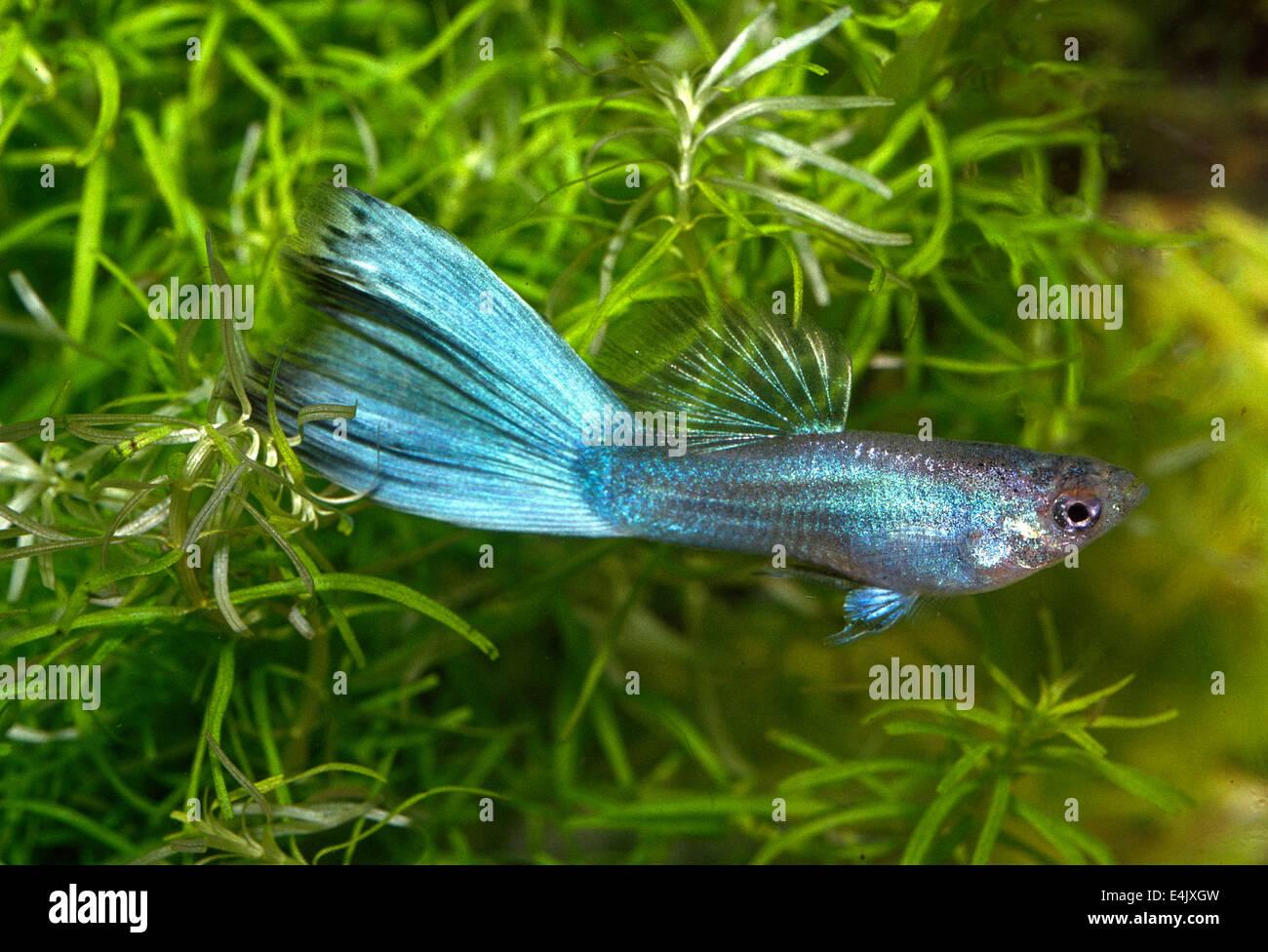 """Guppy Poecilia reticulata """"Multicolor"""", Poeciliidae, South America Stock Photo"""