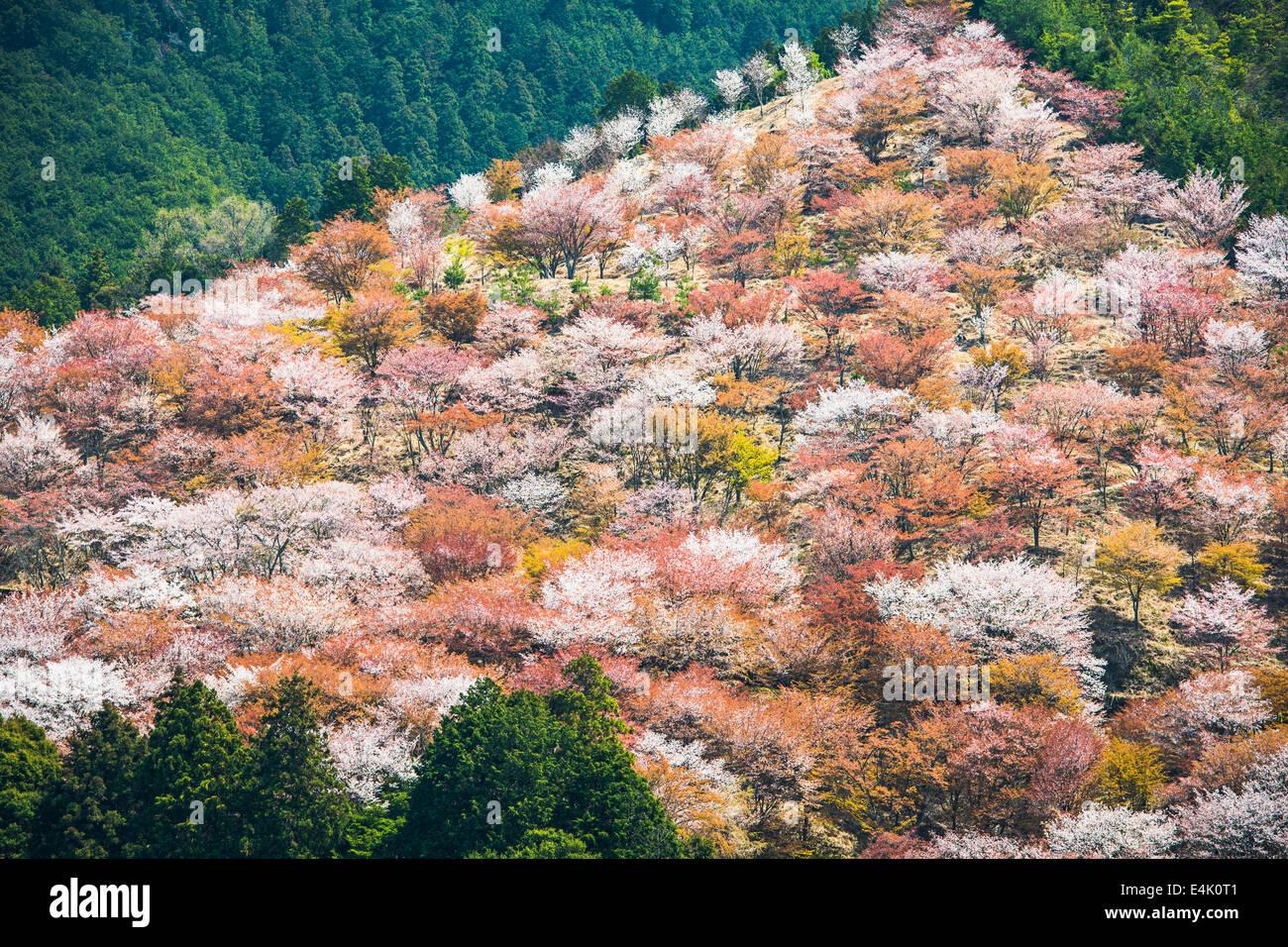 Yoshino, Japan cherry blossoms on the hillside. - Stock Image