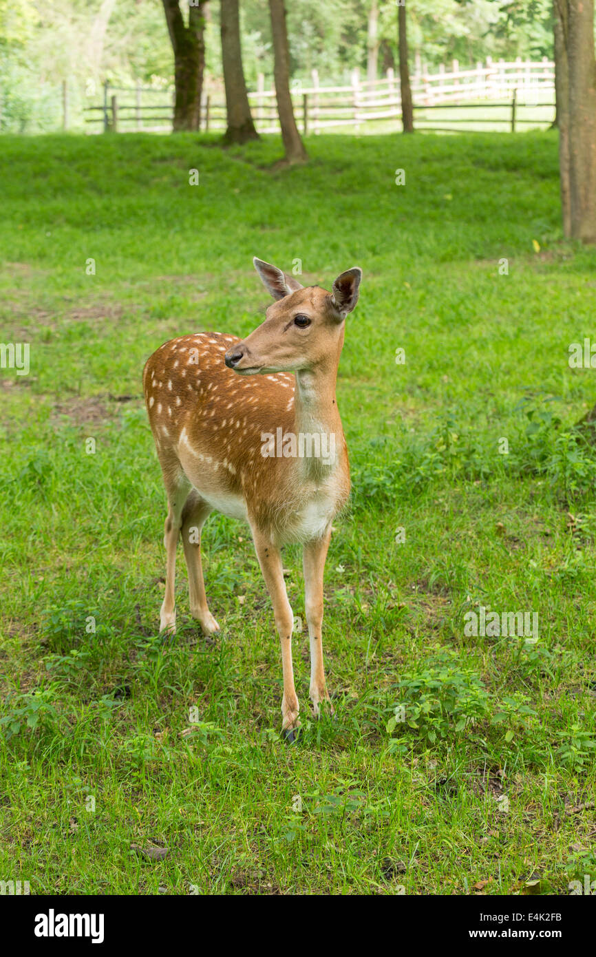 Fallow deer when watching on green meadow grassland in forest in summer Stock Photo