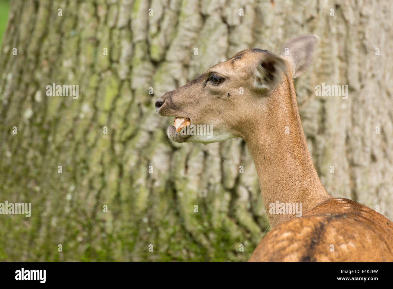 Fallow deer when eating bread on green meadow grassland in forest in summer Stock Photo