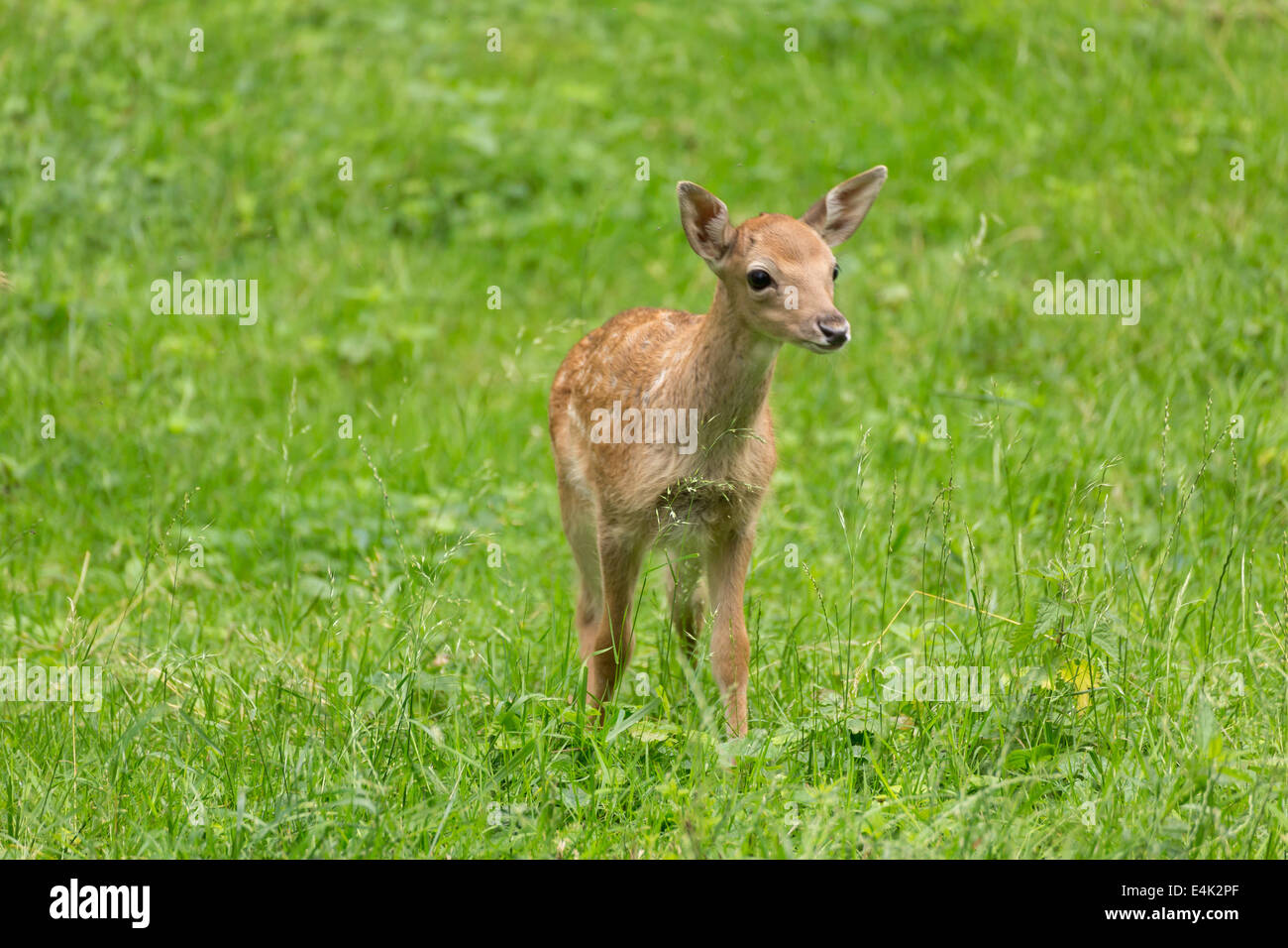 Young toddler fawn fallow deer kids playing on green meadow grassland in forest in summer Stock Photo