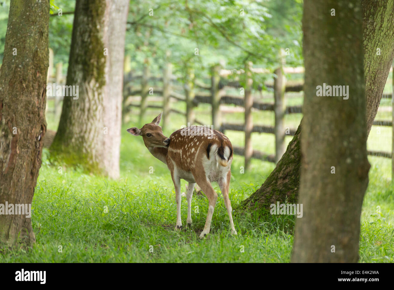 Fallow deer when grooming on green meadow grassland in forest in summer Stock Photo