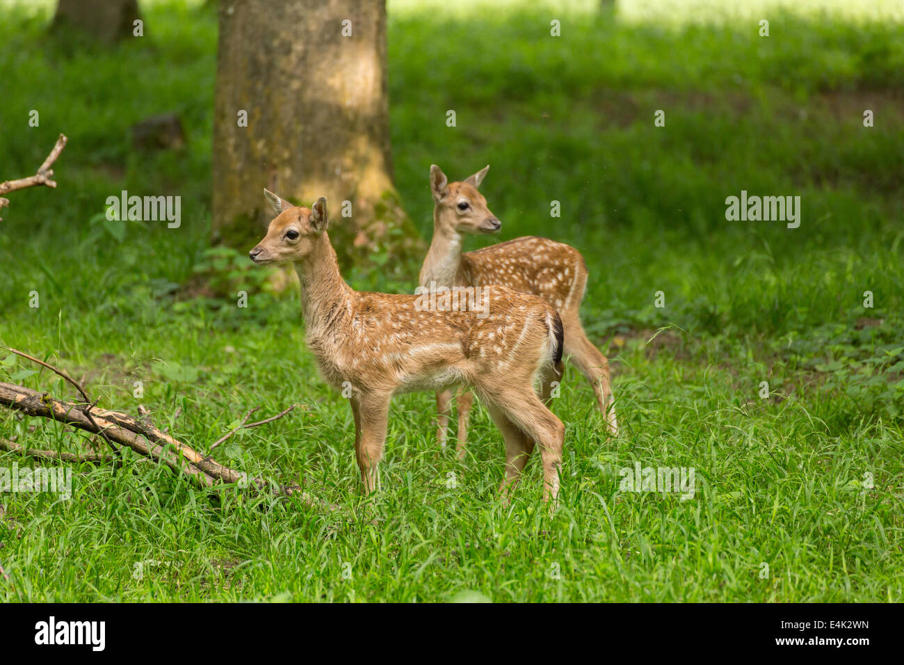 Two young toddler fawn fallow deer kids playing on green meadow grassland in forrest in summer Stock Photo