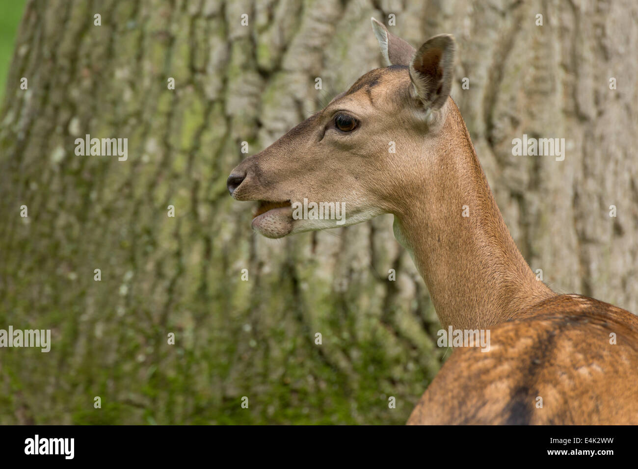 Fallow deer when ruminating on green meadow grassland in forest in summer Stock Photo