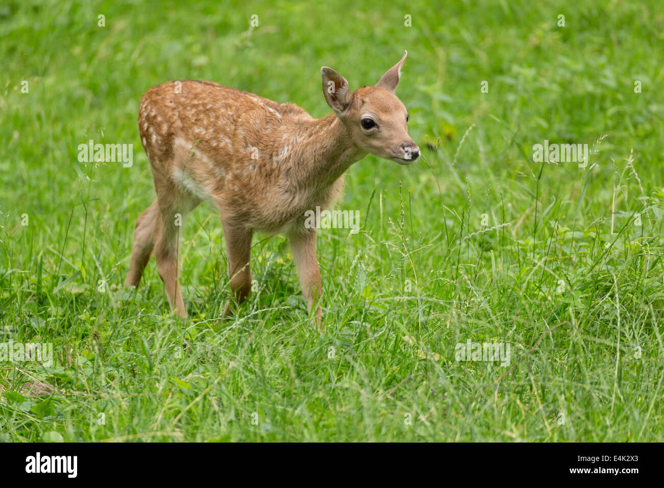 Young toddler fawn fallow deer kids playing on green meadow grassland in forrest in summer Stock Photo