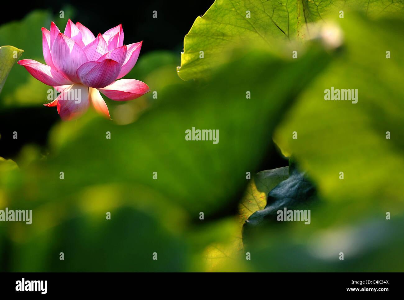 140714 Zhengzhou July 14 2014 Xinhua A Lotus Flower Is In