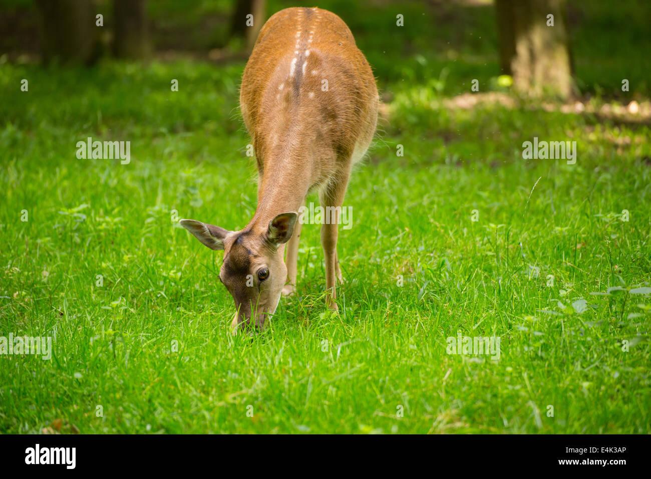 Fallow deer when grazing on green meadow grassland in forest in summer Stock Photo