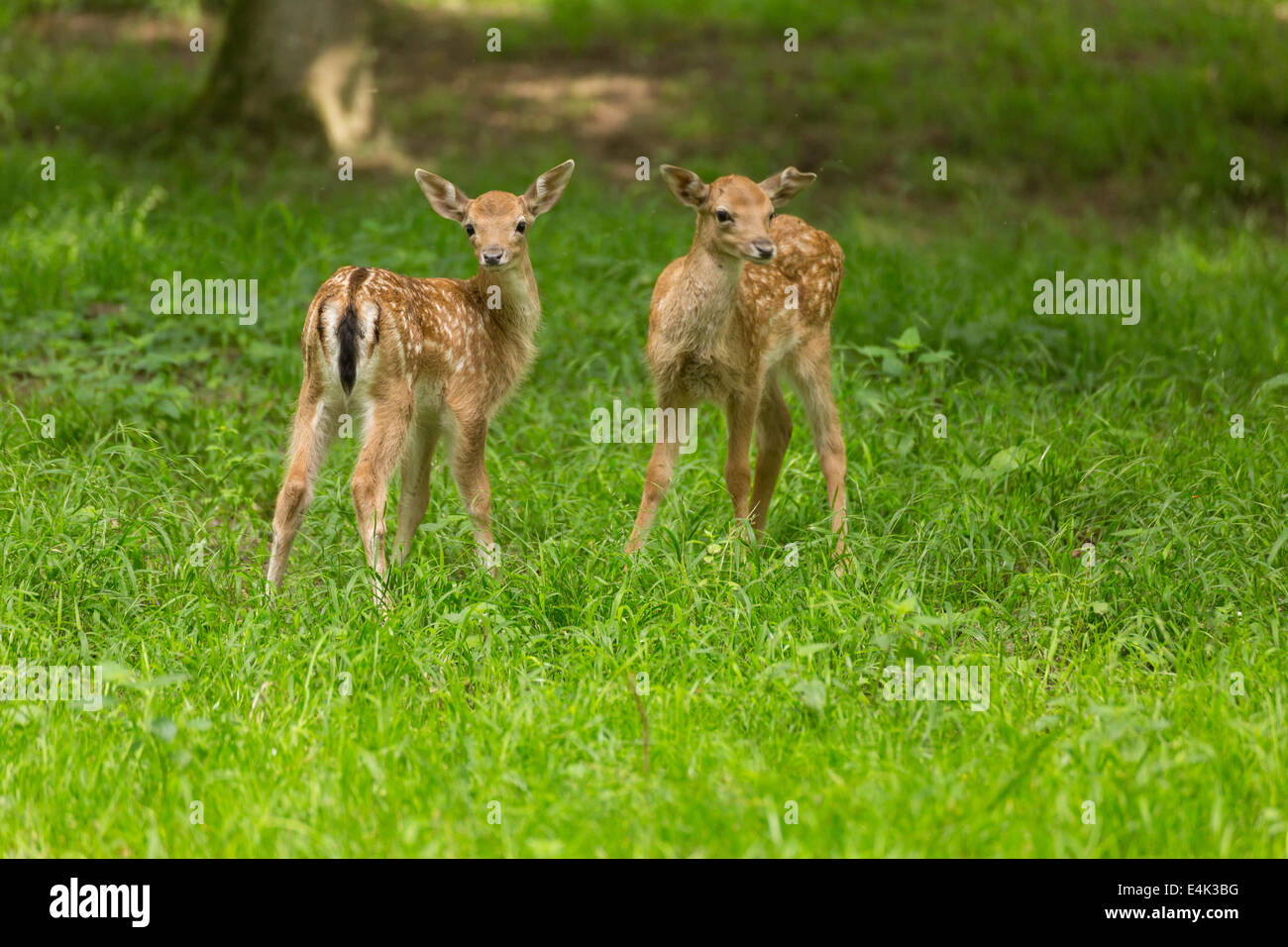 Two young toddler fawn fallow deer kids playing on green meadow grassland in forest in summer Stock Photo