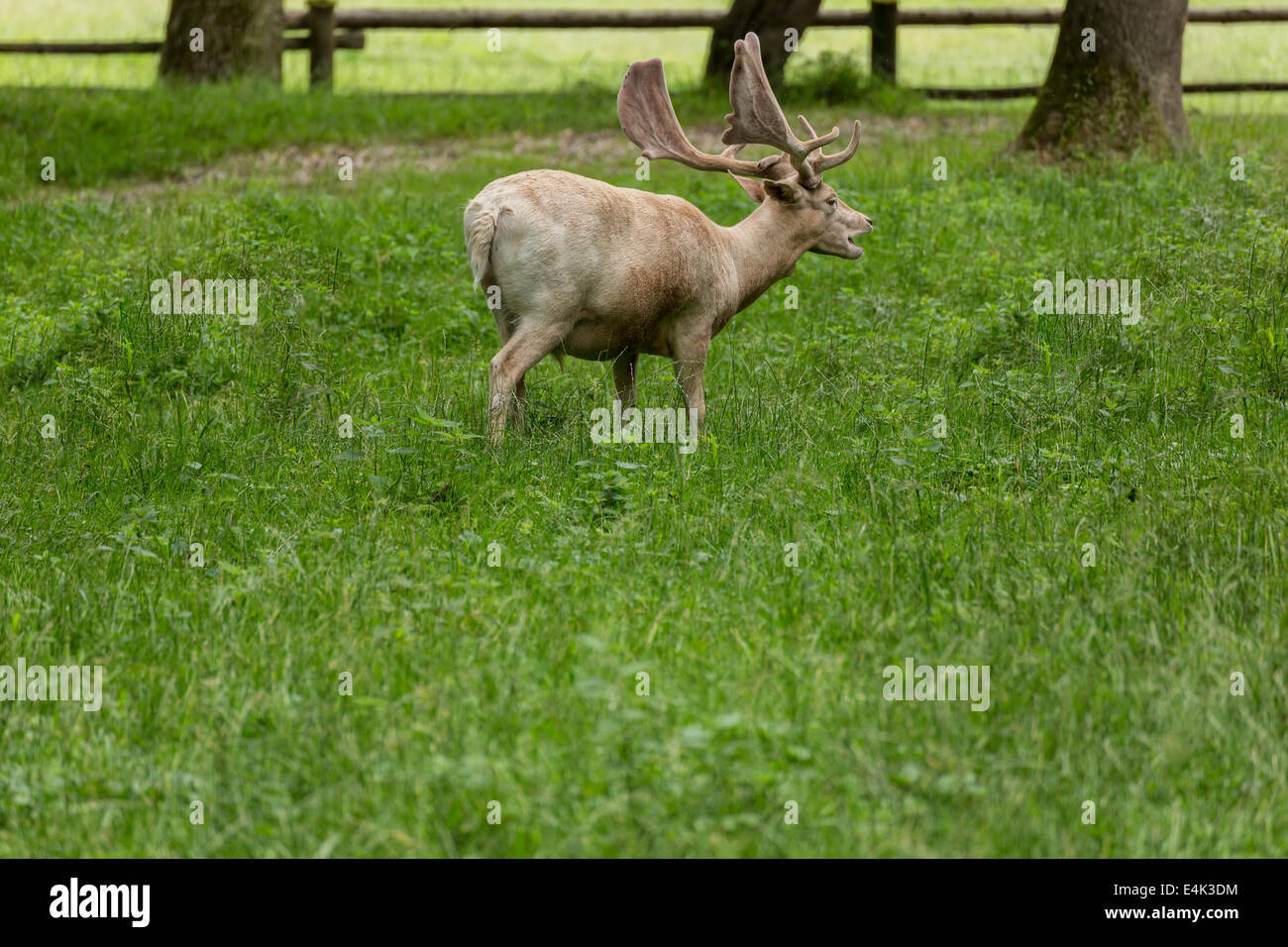 Fallow deer when grazing on green meadow grassland in forest in summer Stock Photo
