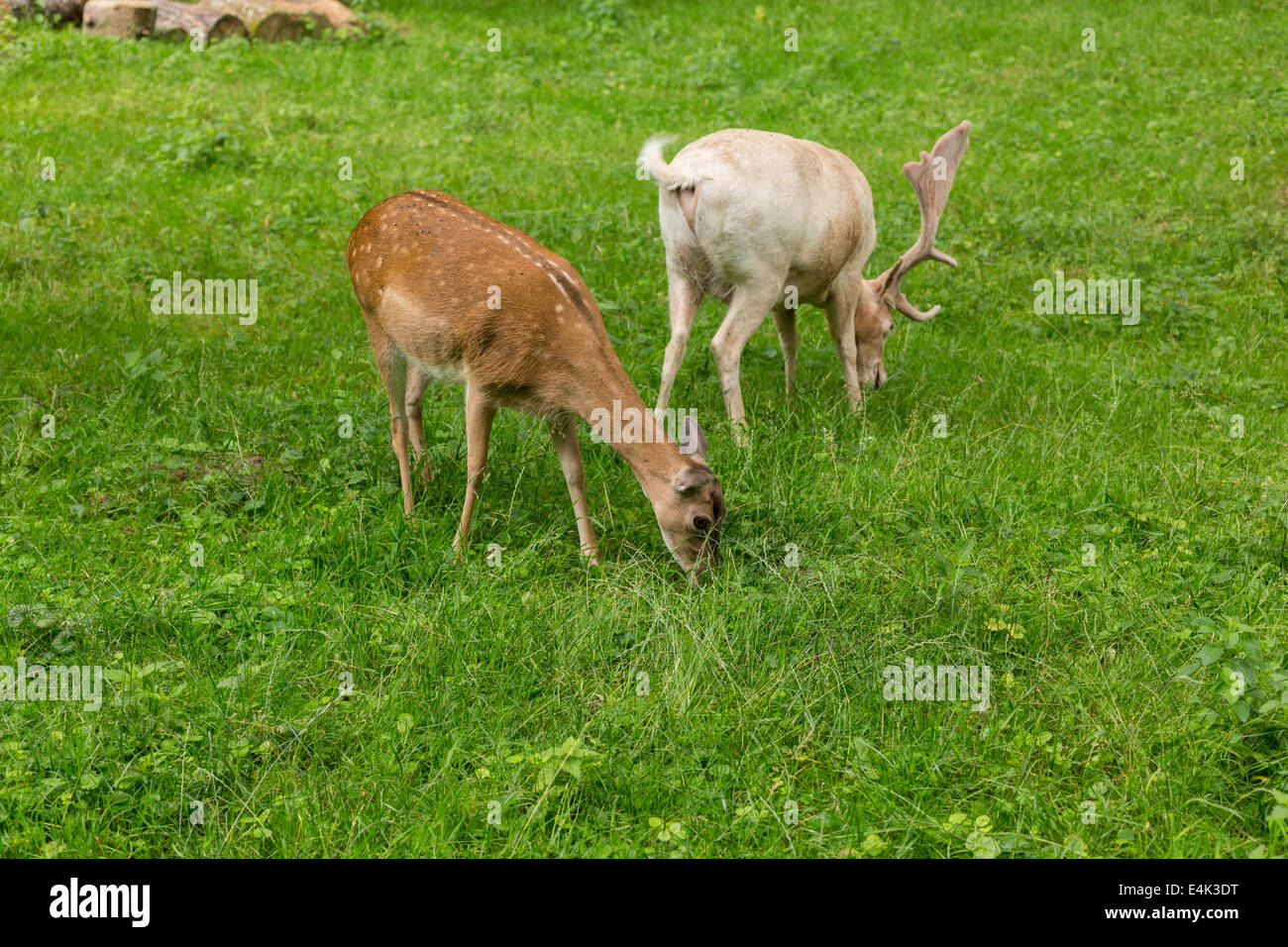 Fallow deer family when grazing on green meadow grassland in forest in summer Stock Photo