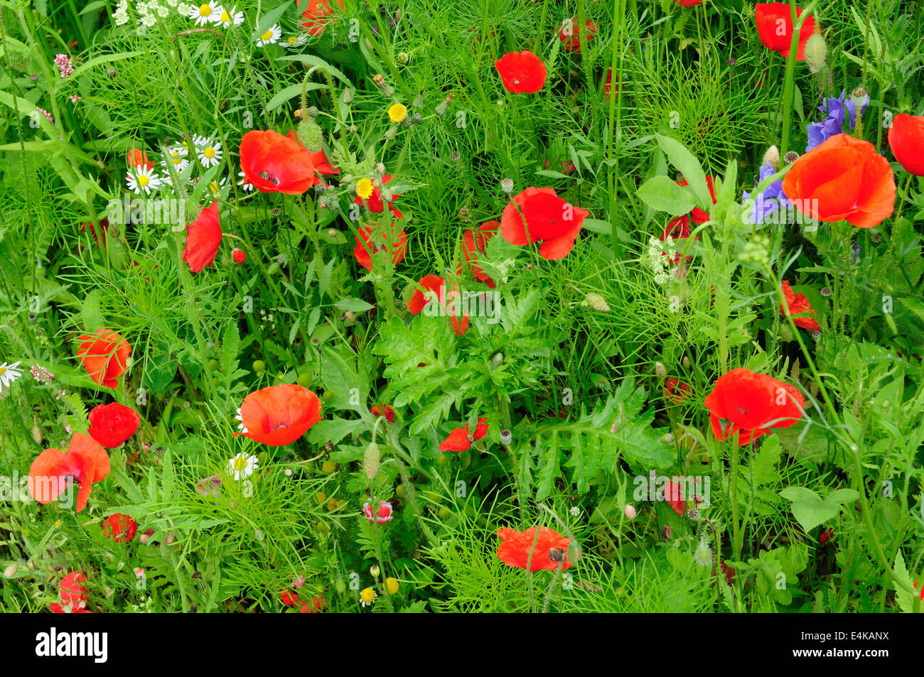 Red poppies in an organic planted meadow - Stock Image
