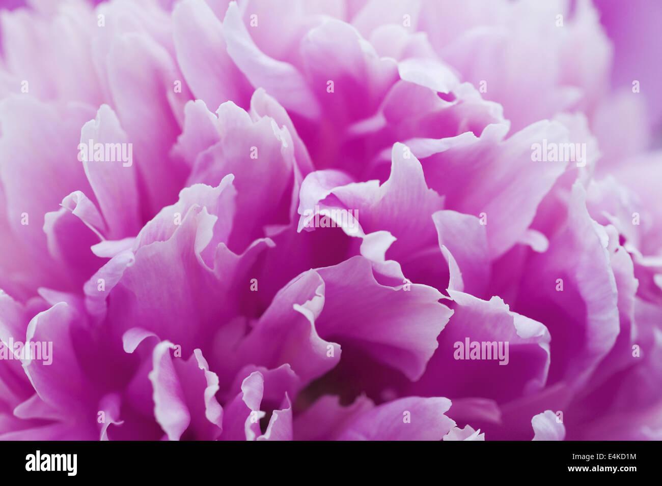 gentle purple petals of summer flower - Stock Image