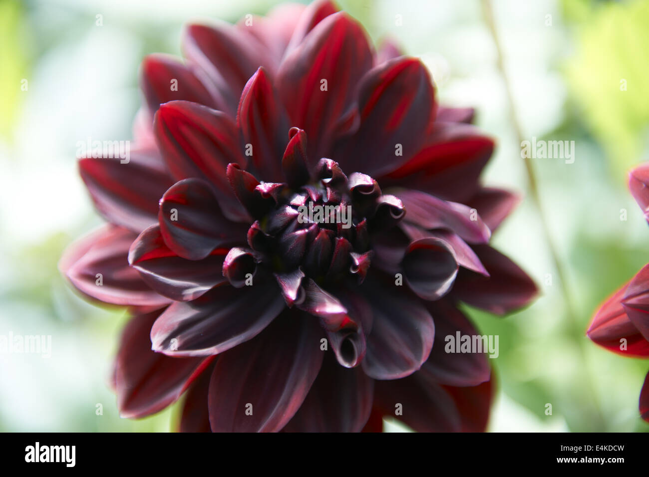 Black dahlia stock photos black dahlia stock images alamy black dahlia stock image izmirmasajfo