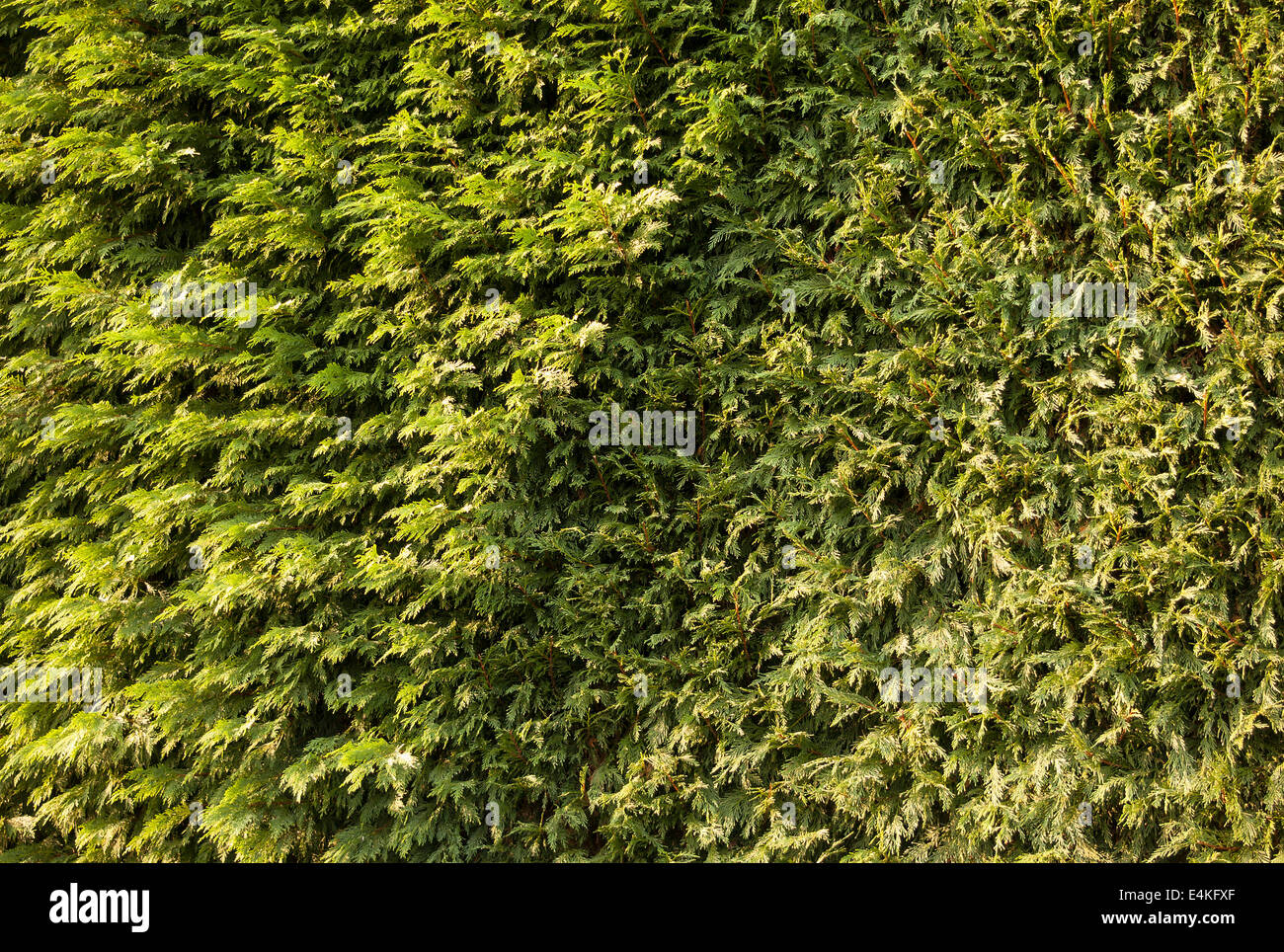 Conifer hedge showing part with seasonal trim and part untrimmed during annual maintenance - Stock Image
