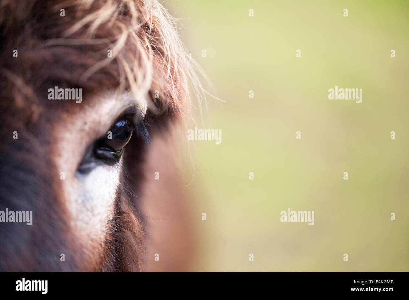 Close up view of a donkey's eye. - Stock Image