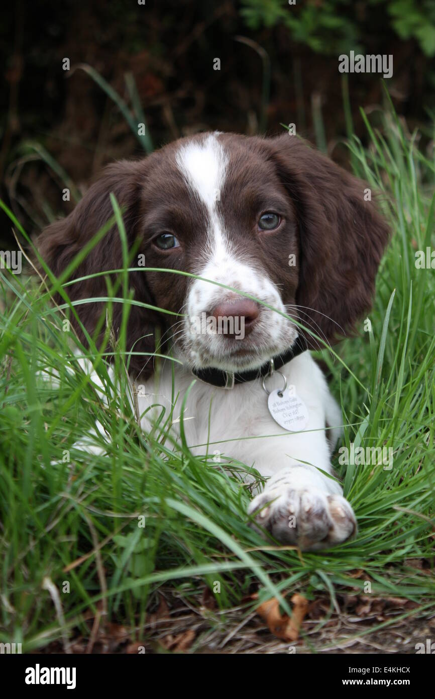 Very Cute Liver And White Working Type English Springer Spaniel Puppy Stock Photo Alamy