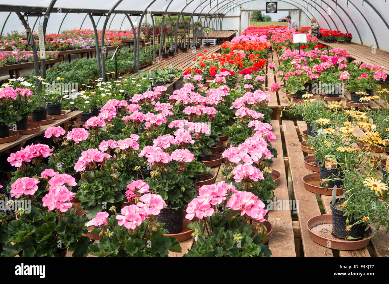 Polytunnel housing young pelargonium plants at an English nursery - Stock Image