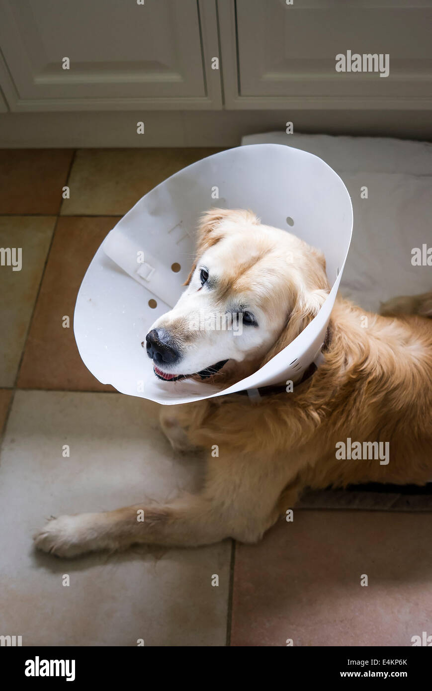 Dog wearing a surgical collar after a stomach operation to prevent accidental aggravation of healing wound - Stock Image