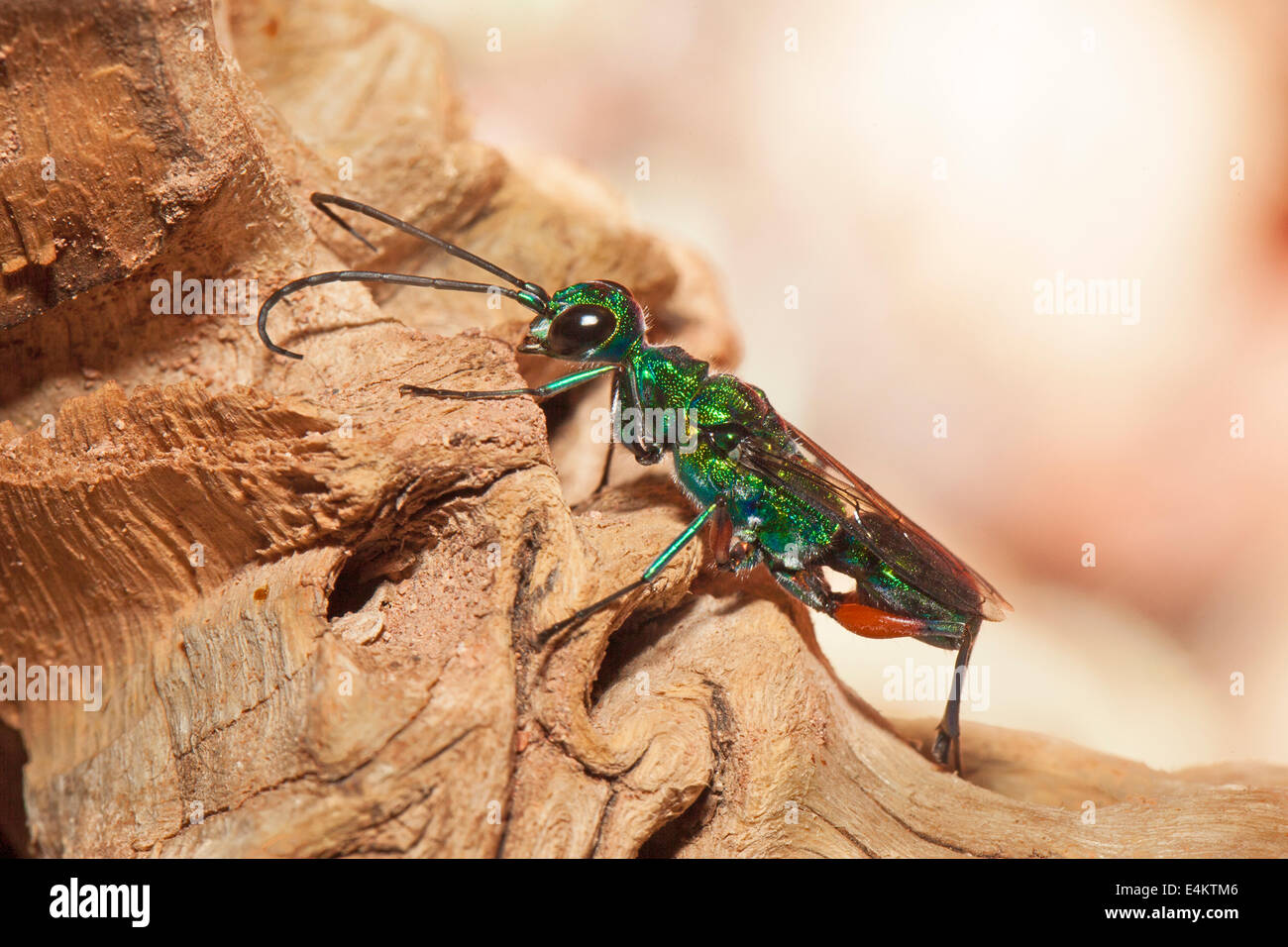 Jewel or Emerald Cockroach Wasp - Stock Image