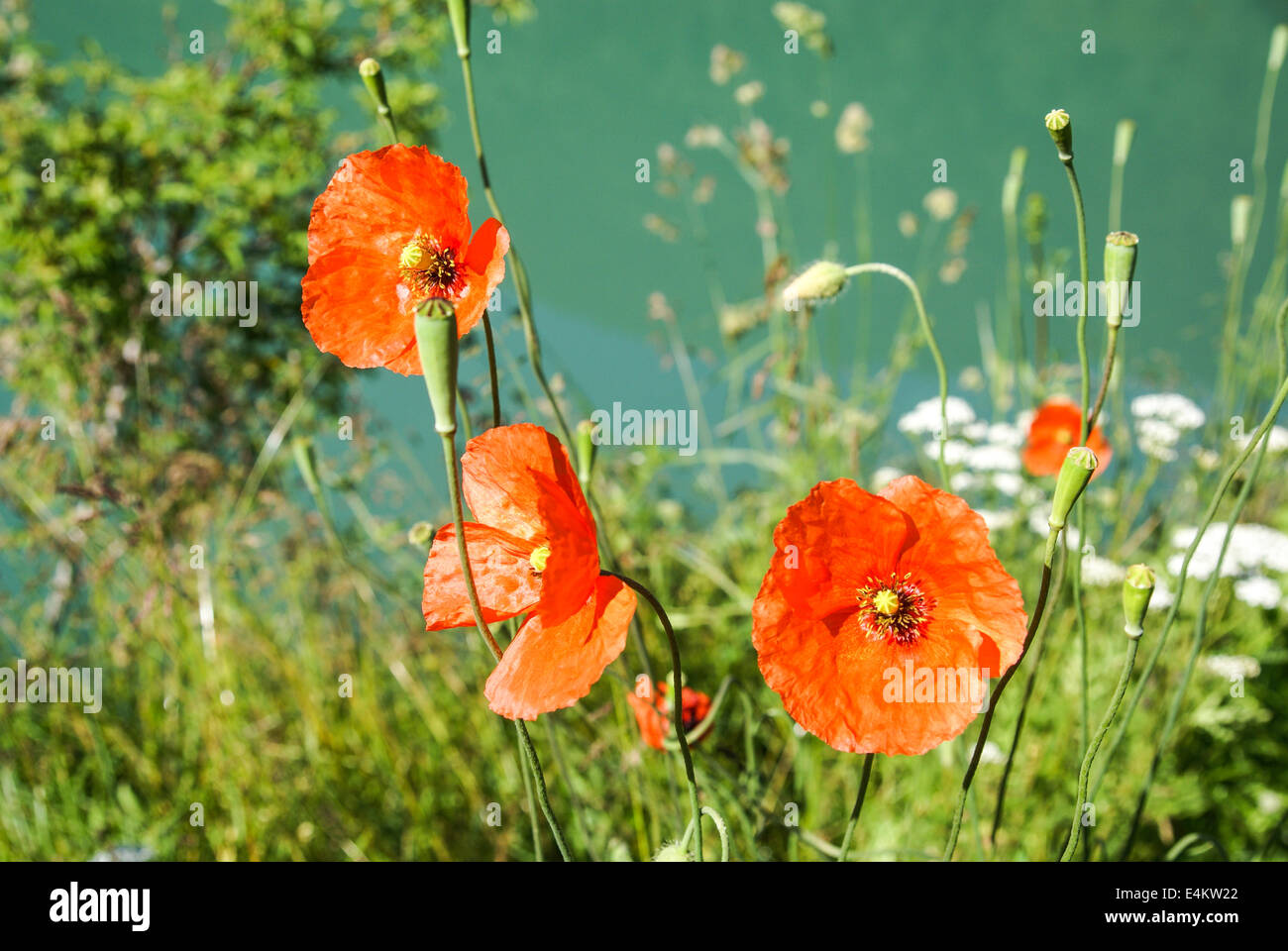 Red Poppies. Photographed in the Pyrenees Mountains, Spain - Stock Image