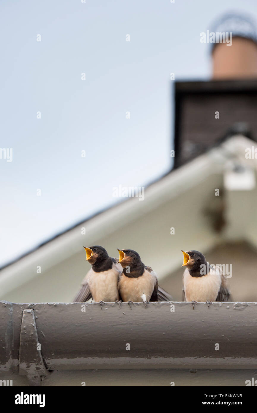 Hirundo rustica. Fledged Swallows waiting to be fed from an adult bird with beaks wide open. Scotland - Stock Image