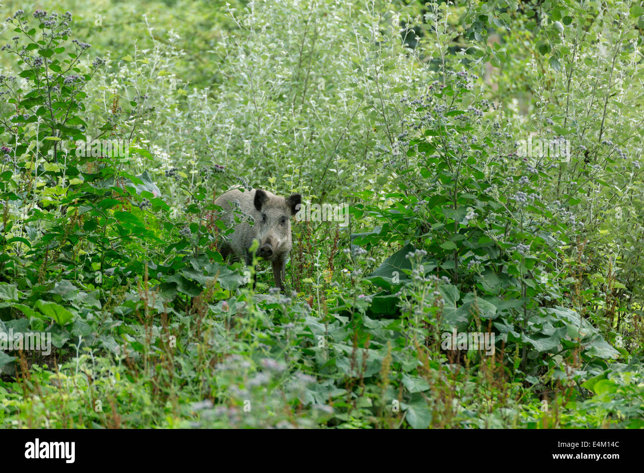Young wild boar with curious look into the camera - Stock Image