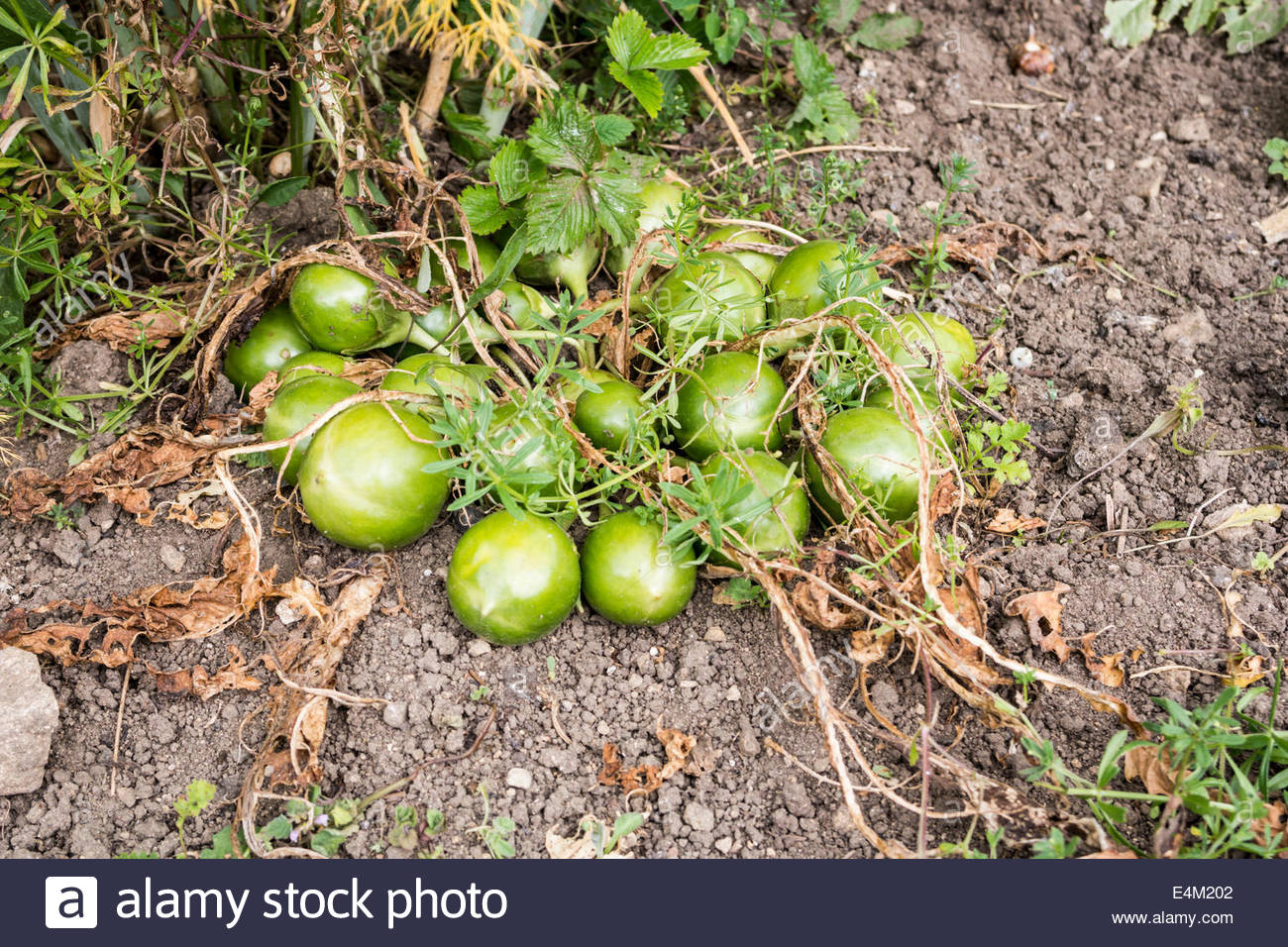 Fruit Of The Mandrake Plant Mandragora Officinarum Stock Photo
