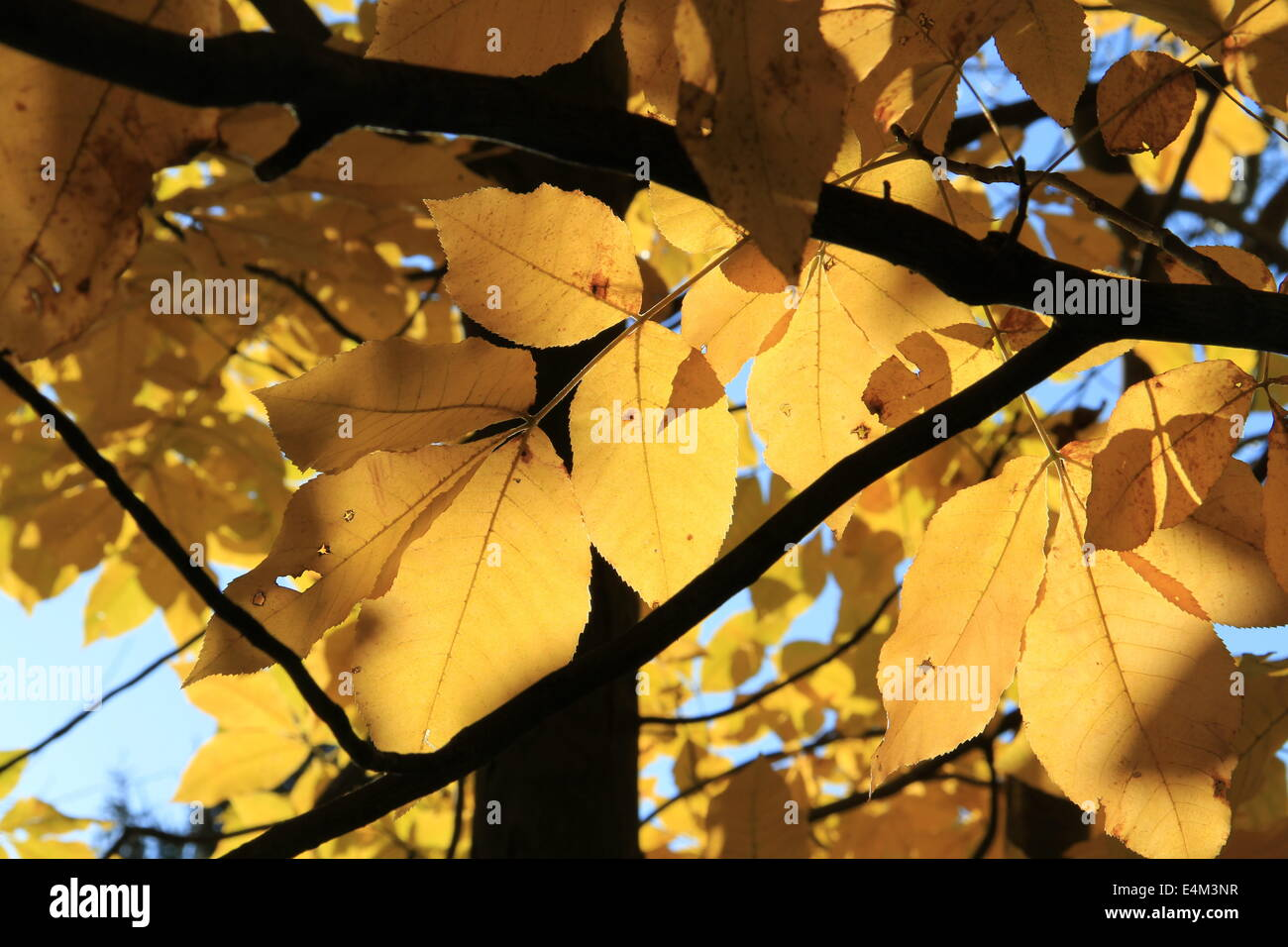 Golden Hickory - Stock Image