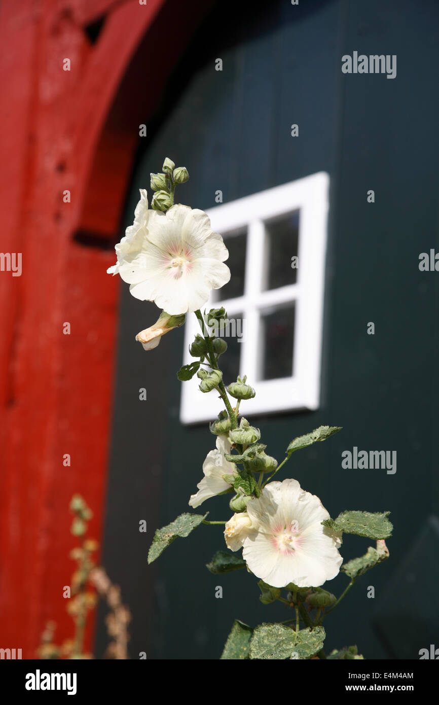Hollyhock in front of an old house, Lueneburg, Lüneburg, Lower Saxony, Germany, Europe - Stock Image