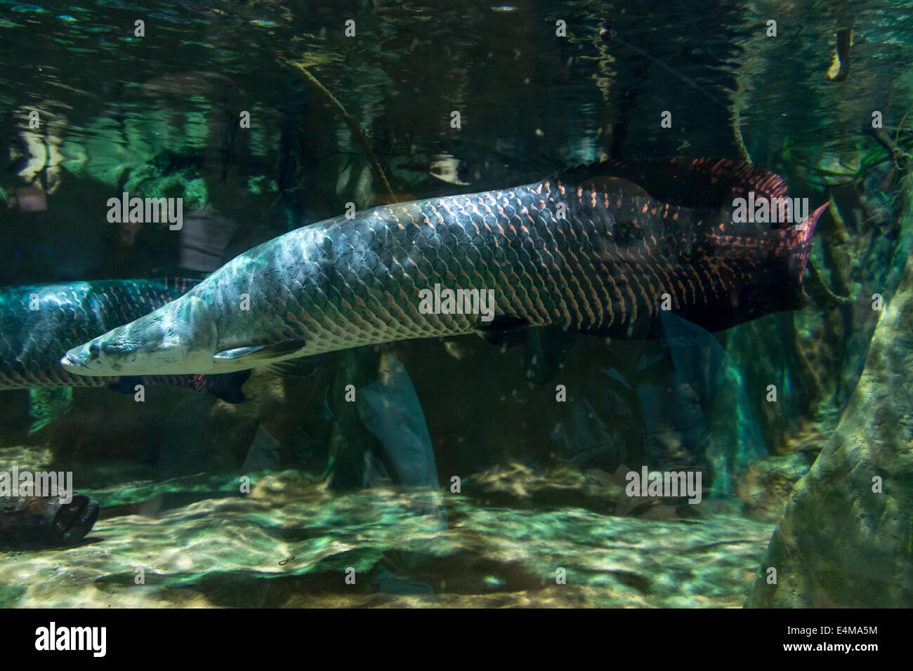 Arapaima Aquarium | Arapaima Stock Photos Arapaima Stock Images Alamy