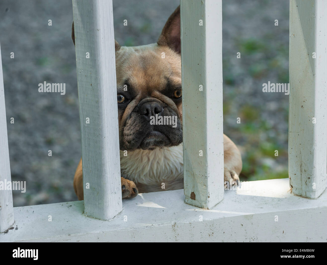 French Bulldog standing and peering through gate bars - Stock Image