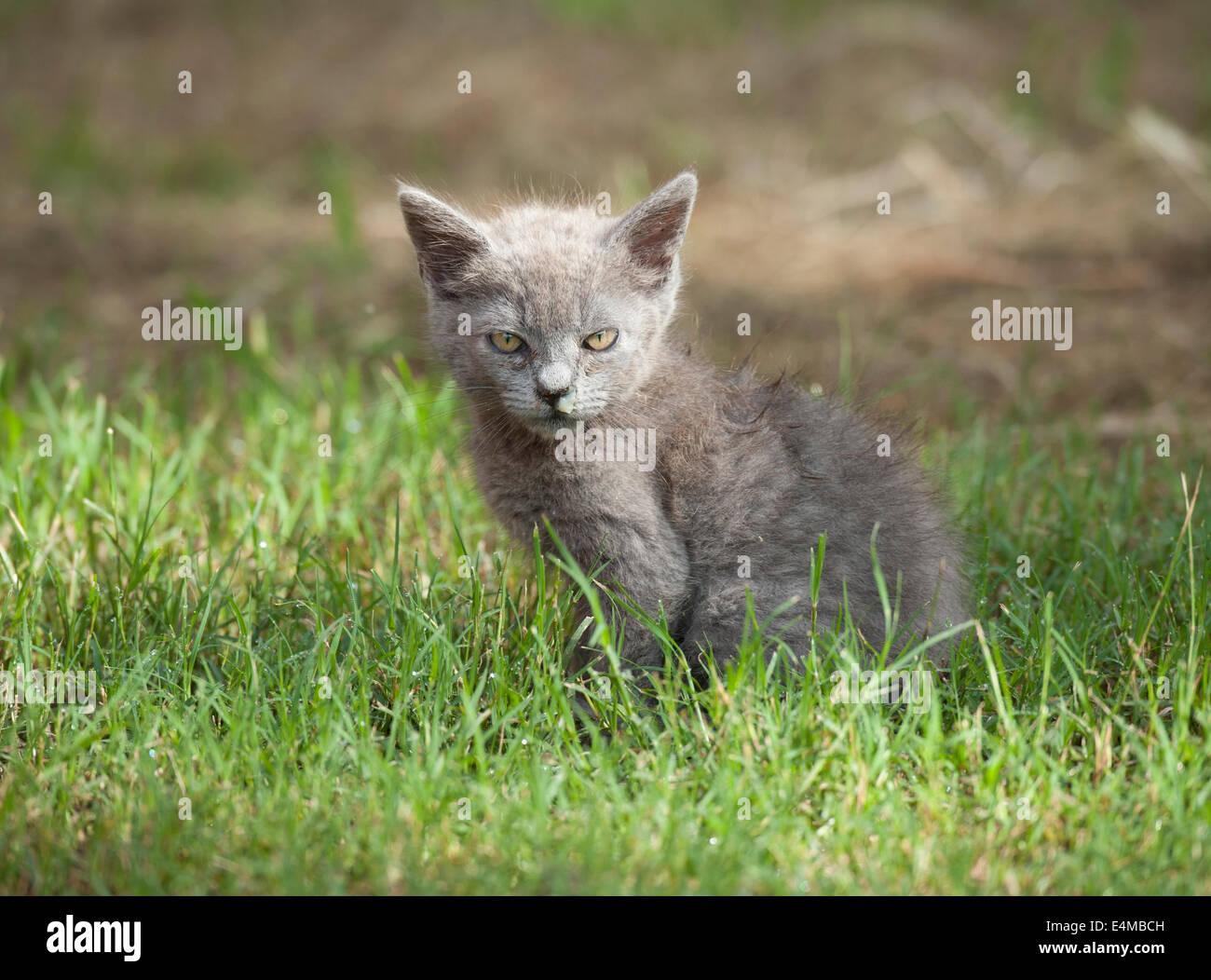 sick feral kitten - Stock Image